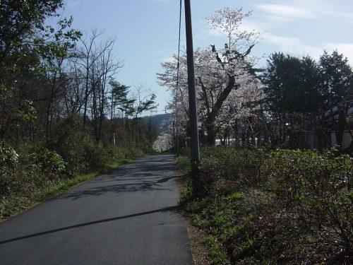 隣の農業大学付近満開の桜(1)