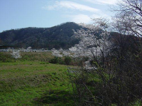 隣の農業大学付近満開の桜(2)