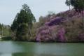 楞厳寺からため池の向こうに見える満開のツツジ