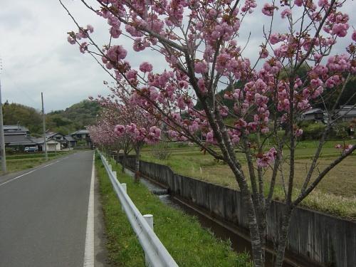 ふれあい牧場に入る道筋のぼたん桜並木