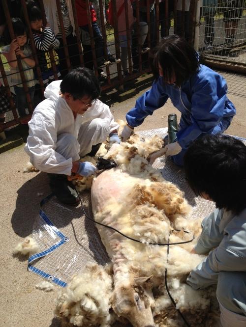 クラブ会員による羊の毛刈り風