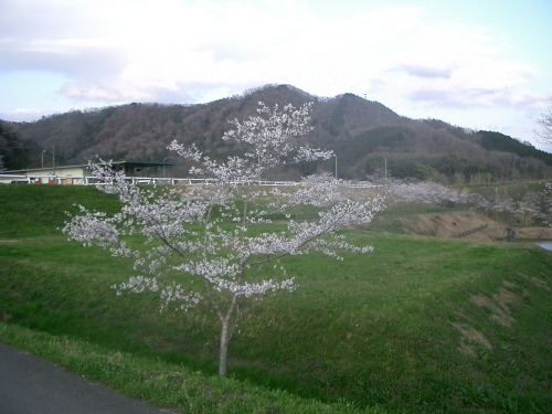 2015.4.2桜満開 009