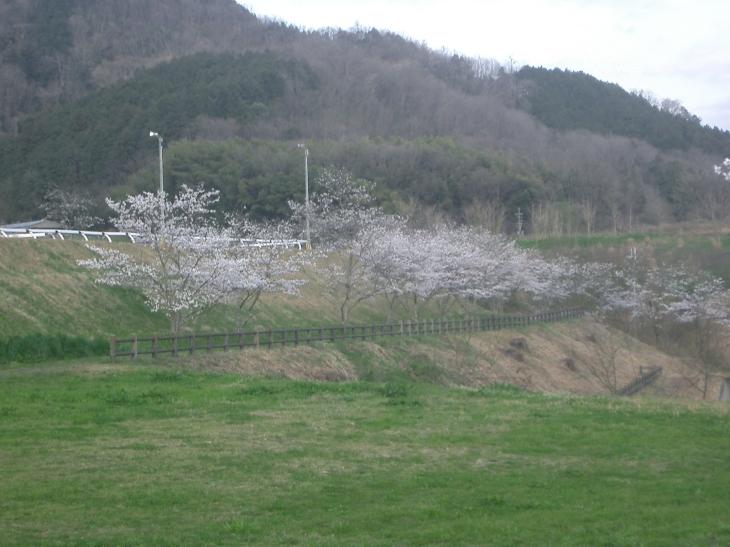 2015.4.2桜満開 010