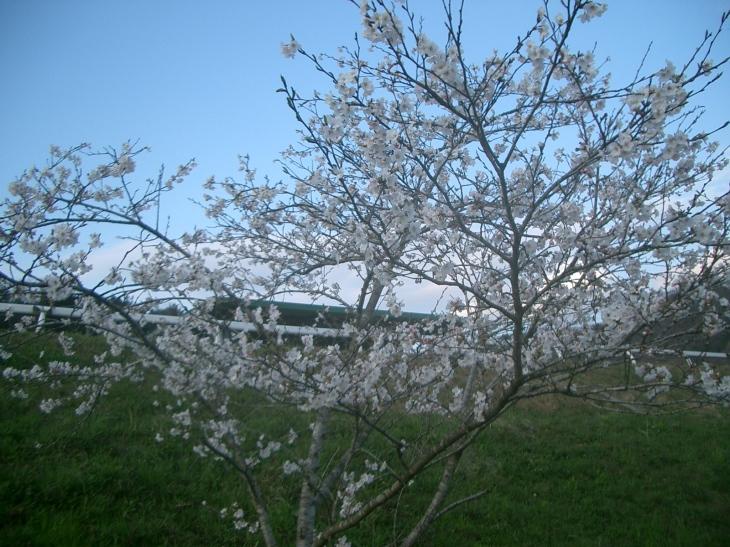 2015.4.2桜満開 012